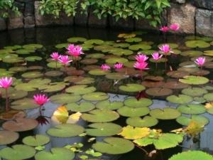 Lotus pool